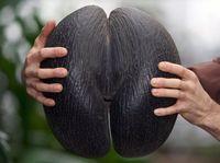 Kenali Coco De Mer, Pohon Kelapa Langka dengan Buah Terbesar di Dunia