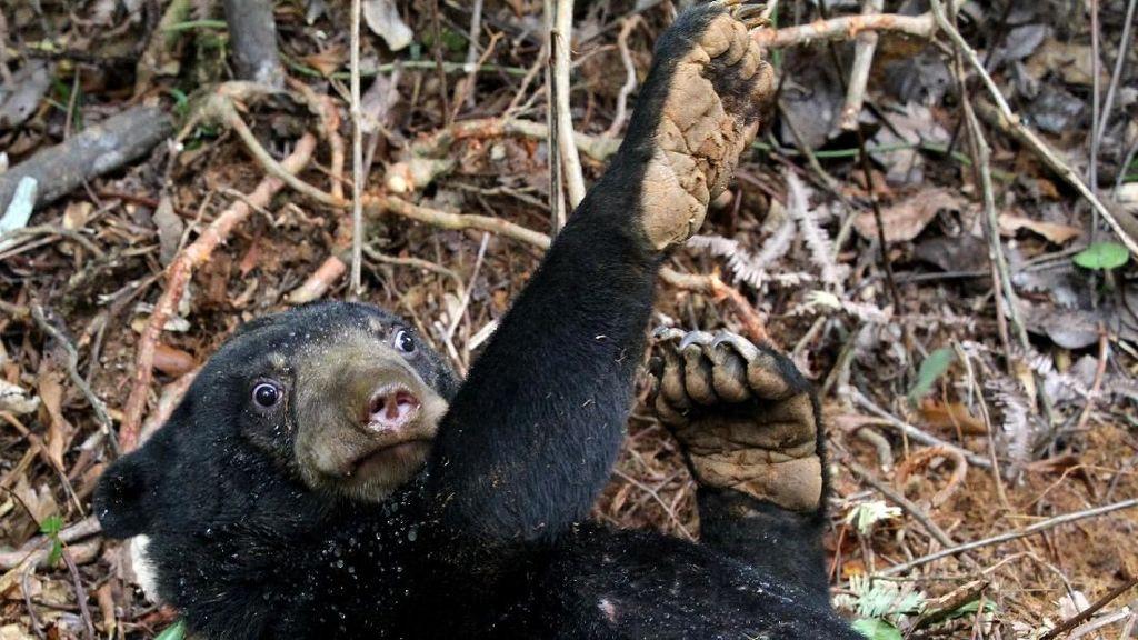 Duh, 2 Ekor Beruang Madu di Aceh Terjerat Jebakan Babi