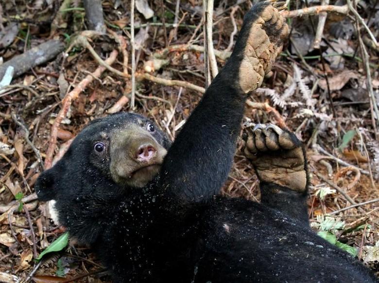 Ngeri! Pria di Jambi Diterkam 4 Ekor Beruang Madu