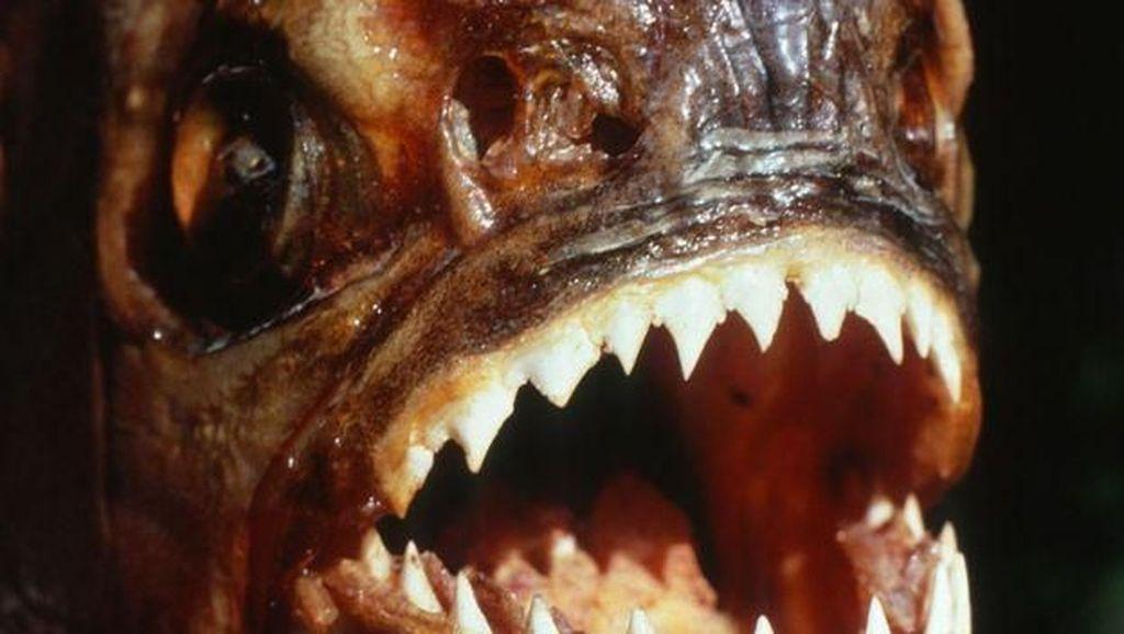 Black Piranha, Ikan Paling Mematikan di Dunia