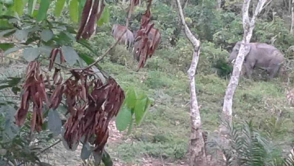 Gajah Liar Masuk Kebun Sawit Riau untuk Cari Makan di Wilayah Jelajahnya
