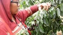 Cerita Efi Jadi Buruh Pemetik Cherry dan Pengumpul Ubi
