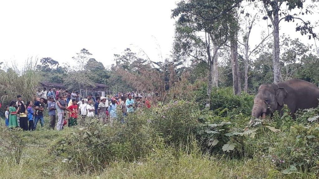 Gajah Liar Masuk Kebun Sawit di Riau, Begini Teknik Penggiringannya