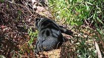 BKSDA Evakuasi Beruang yang Terkena Jerat Babi di Aceh