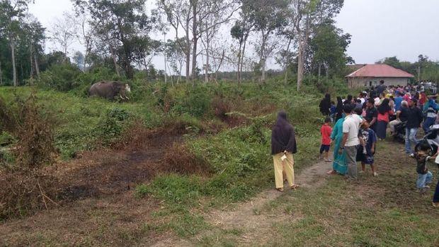 Gajah liar di perkebunan sawit di Indragiri Hulu, Riau, Rabu (12/6/2019)