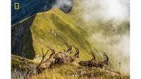 Ada 9 pemenang, yakni tiga di setiap kategori serta ada dua untuk pemenang kehormatan. Foto bernama King of the Alps oleh Jonas Schafer meraih penghargaan kehormatan di kategori Nature (Jonas Schafer/National Geographic/CNN)