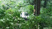 Mobil Masuk Jurang di Jalur Gumitir, Satu Orang Luka
