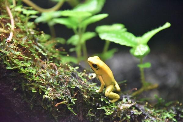 Katak emas ini ukurannya kecil. Panjangnya kisaran 1,5 cm sampai 5 cm dan beratnya hanya 30 gram. Warna kulitnya yang kuning begitu mencolok (iStock)