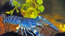 Sangat Langka! Restoran Ini Temukan Lobster Berwarna Biru Terang