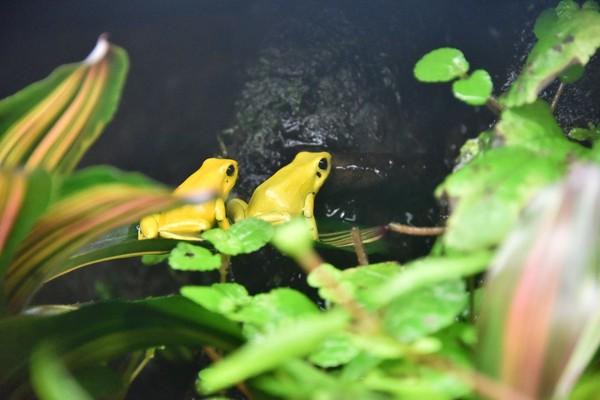 Menariknya, meski punya racun yang berbahaya, katak emas justru akan menghindari ketika bertemu pemangsa. Mereka lebih memilih untuk lari (iStock)