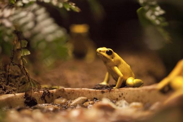 Pada kelenjar kulitnya, katak emas memiliki racun batrachotoxin. Salah satu racun paling mematikan di dunia! (iStock)