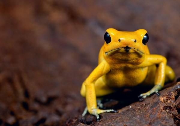 Golden Poison Frog (Phyllobates terribilis) alias katak emas merupakan hewan yang berada di Amerika Selatan. Tepatnya di hutan hujan Choco di Kolombia (iStock)