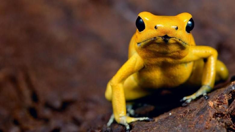 Golden Poison Frog (iStock)