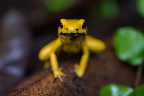 Golden Poison Frog masuk dalam daftar hewan mematikan di dunia (iStock)