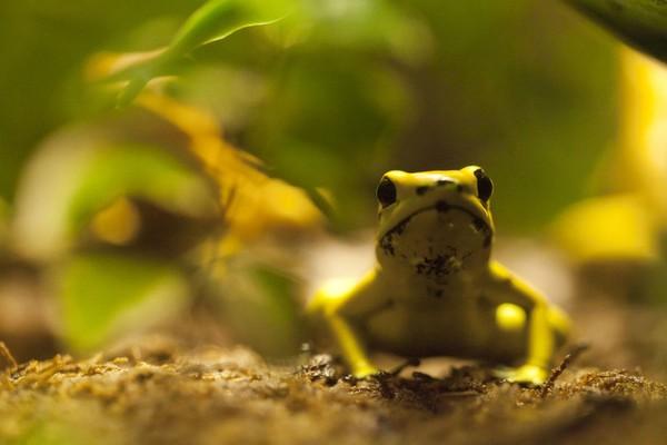 Katak emas memangsa serangga-serangga kecil seperti semut, rayap, hingga jangkrik. Katak emas biasa menempati wilayah yang basah, seperti di dekat aliran sungai (iStock)