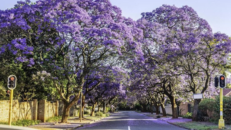 Jacaranda trees along the road in Melville. These purple and lilac trees are in bloom from spring to summer and seen throughout the suburbs of Johannesburg, South Africa
