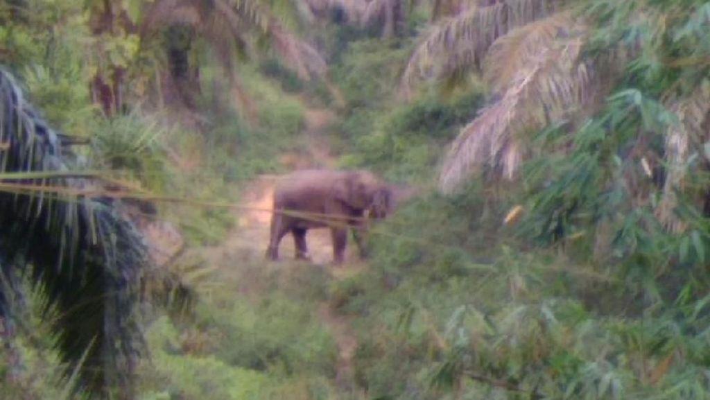 Belasan Gajah Liar Masuk ke Perbatasan Kota Pekanbaru