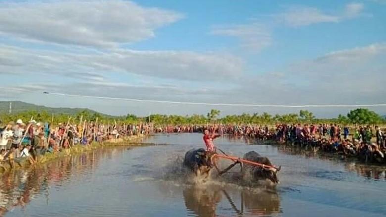 Barapan Kerbau di Sumbawa (Ari/istimewa)