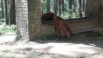 Melihat 3 Anak Bison yang Menggemaskan di Pasuruan