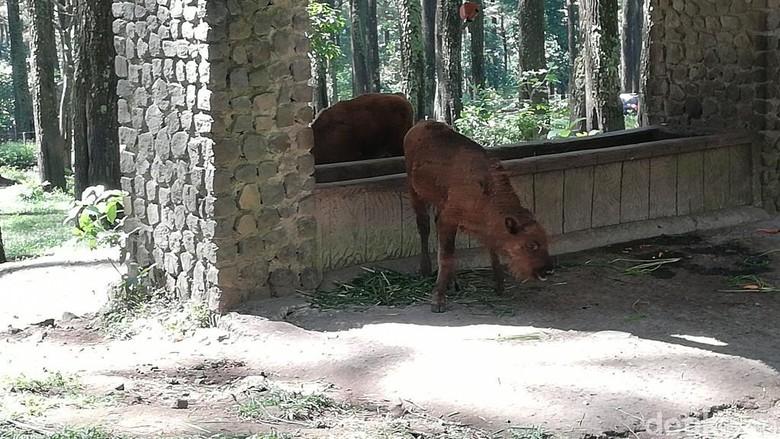 Anakan bison di Taman Safari Prigen (Muhajir Arifin/detikcom)