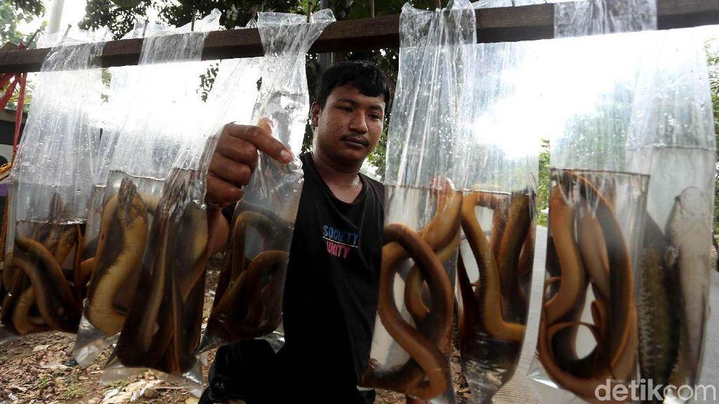 Geliat Penjualan Belut Sawah di Tangerang