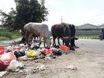 Duh! Sampah Berceceran di Pinggir Kali Irigasi Bekasi Jadi Pangan Sapi
