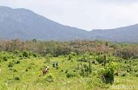 Desa Gombengsari adalah desa yang kaya akan potensi perkebunan dan hutan. Seperti kopi, coklat, cengkeh dan aneka buah, berbagai tanaman kayu hingga potensi peternakan kambing etawa. (Ardian Fanani/detikcom)
