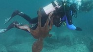 Ngeri! Diver Ini Ditarik Gurita Raksasa di Dasar Laut