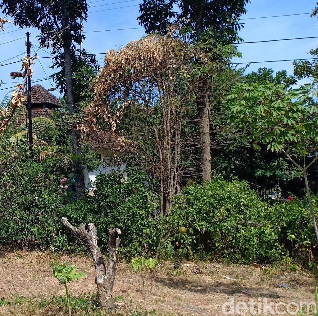 Selain Padi Puso, Kekeringan Magetan Juga Matikan 80 Ribu Pohon Jeruk