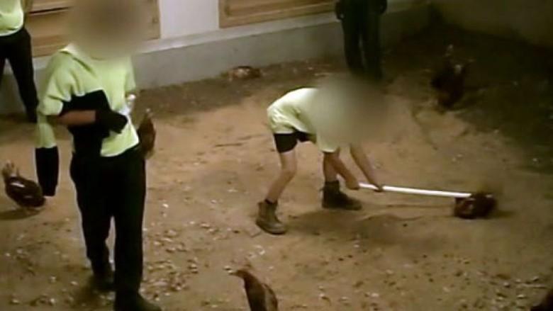 Penyiksaan Ayam di Peternakan Australia Terekam Kamera