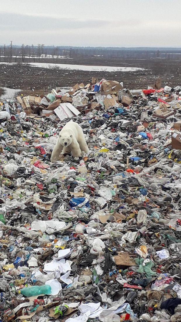 Beruang kutub yang tersesat ini bahkan mengais sampah