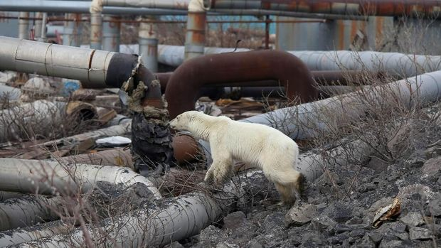 Beruang kutub ini terlihat mencari-cari makanan