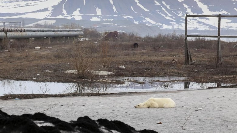 A stray polar bear is seen in the industrial city of Norilsk, Russia June 17, 2019. Picture taken on June 17, 2019. REUTERS/Irina Yarinskaya/Zapolyarnaya Pravda NO RESALES. NO ARCHIVES.
