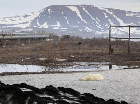 Beruang kutub yang tersesat tampak lemah dan kelelahan
