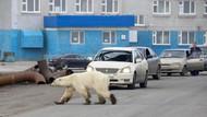 Kasihan! Tersesat dan Kelaparan, Beruang Kutub Berkeliaran di Tengah Kota