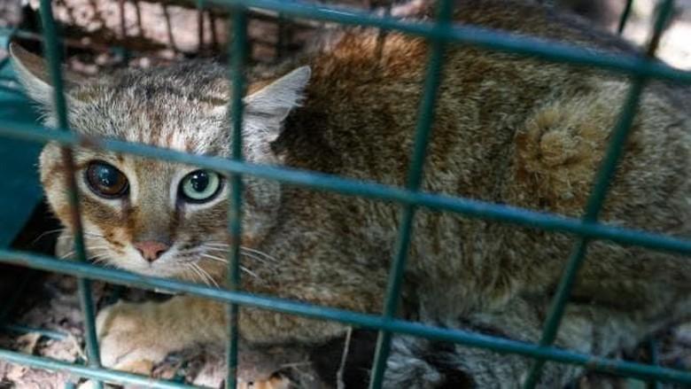 Makhluk mitos kucing musang (Pascal Pochard-Casabianca/AFP)