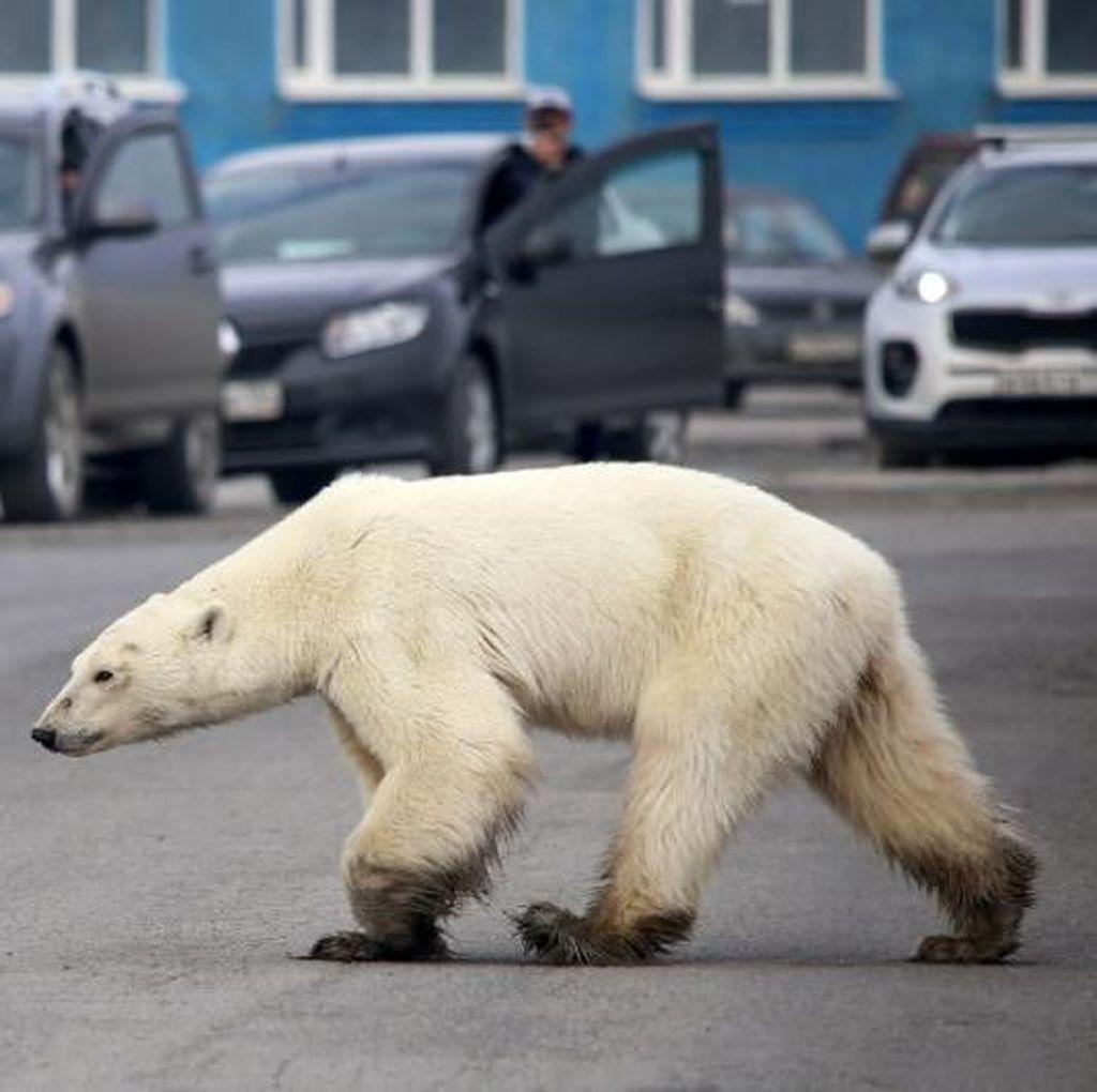 Beruang Kutub Lapar yang Berkeliaran di Kota Ditangkap
