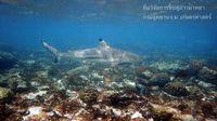 Hiu yang terlihat di Maya Bay (BBC)