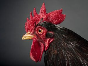 Banyak yang Penasaran Sunat Model Jengger Ayam, Beneran Ada Nggak Sih?