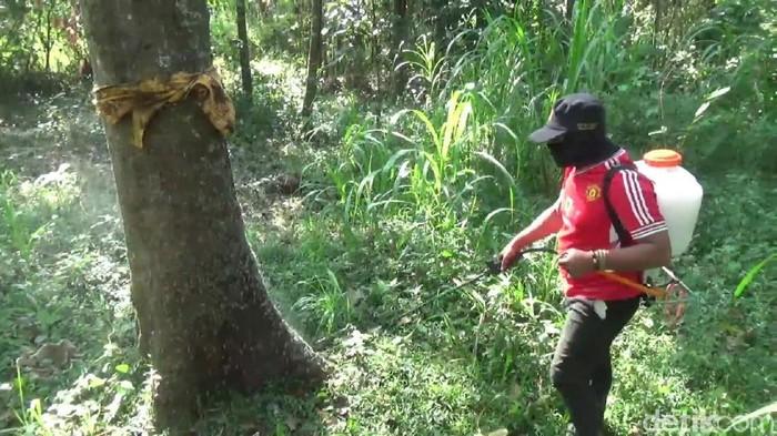 Dinas Pertanian Kabupaten Pasuruan membasmi ulat bulu/Foto: Muhajir Arifin