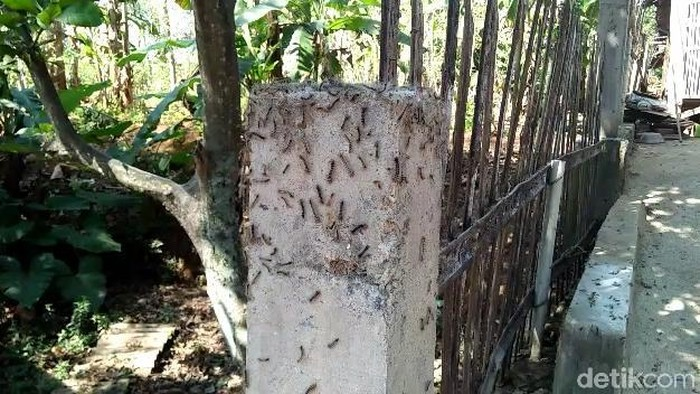 Serangan Hama Ulat Bulu di Pasuruan Bersifat Sementara/Foto: Muhajir Arifin