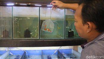 Potensi Bisnis Ikan Gupi yang Cuan hingga Rp 9 Juta per Bulan