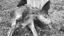 Anak Sapi Berkepala Dua Hebohkan Warga Bone Sulsel