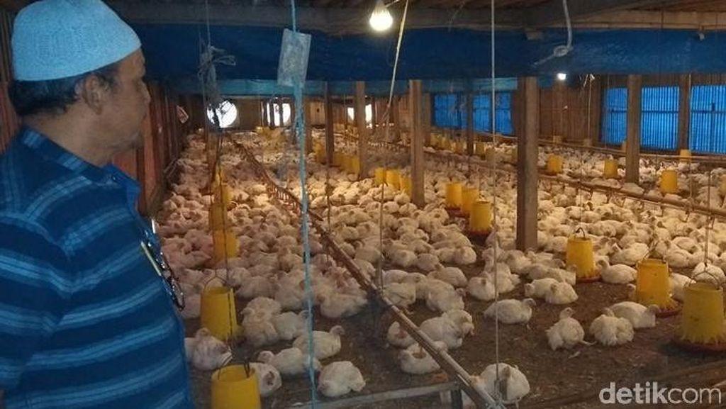 Harga Anjlok, Peternak Ayam di Magelang Menjerit