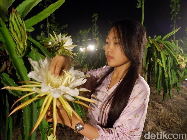 Sensasi Bercumbu dengan Bunga Buah Naga di Banyuwangi