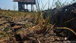 Belasan Hektar Sawah di Cirebon Kering Kerontang