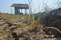Alami Kekeringan, 15 Hektare Sawah di Mundu Cirebon Gagal Panen