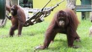 Dituduh Aniaya Orangutan, Keeper KBS: Damai dan Risky Berkelahi