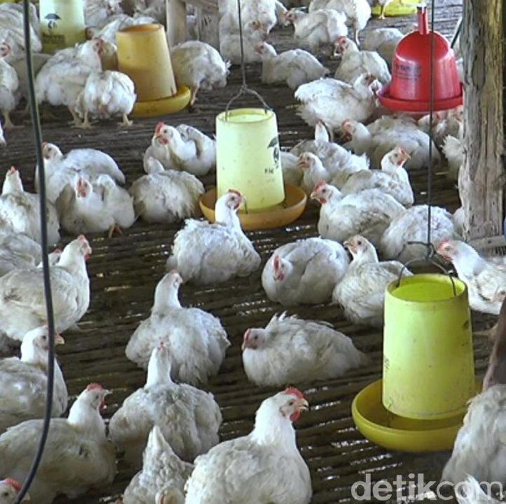 Harga Ayam Rp 6 Ribu/Kg, Ini yang Dilakukan Peternak di Lamongan