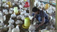 Janji Pemerintah ke Peternak untuk Stabilkan Harga Ayam